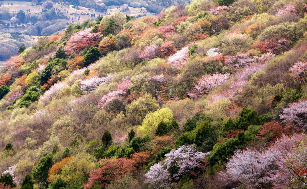 \地域おこし協力隊募集!/ 日本一のヤマザクラの里の恵みを あますことなく発掘・創造・発信する「地域商社」を共に創ろう!